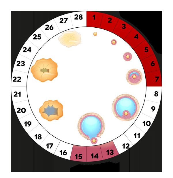 Menstruacinis ciklas